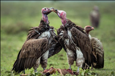 Vultures: Natural cleaners of the environment