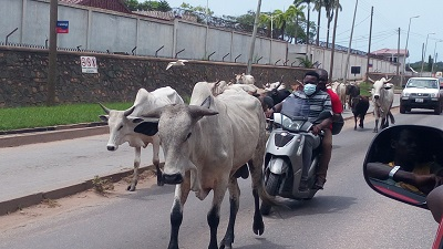 """Stray cattle """"take over"""" Oil City"""